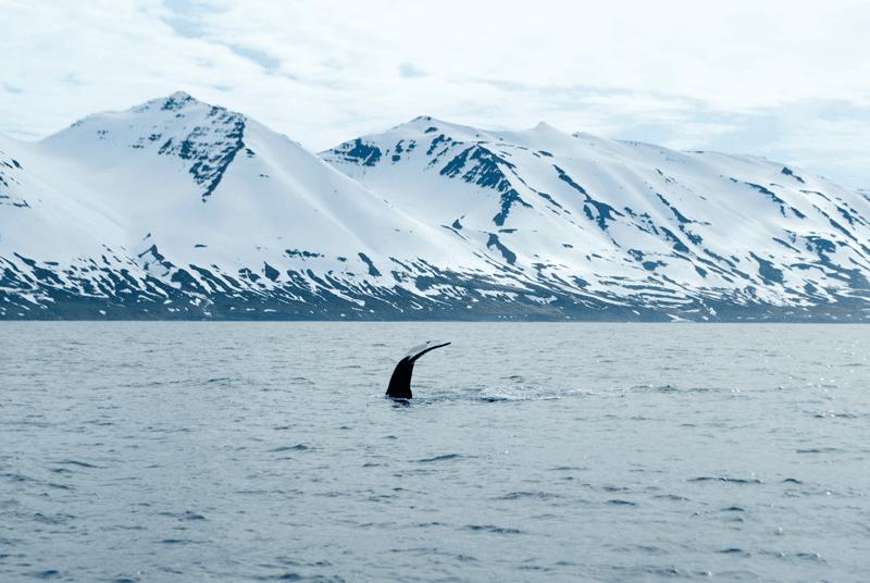 Reisetipps für Island: Whale Watching in Nordisland