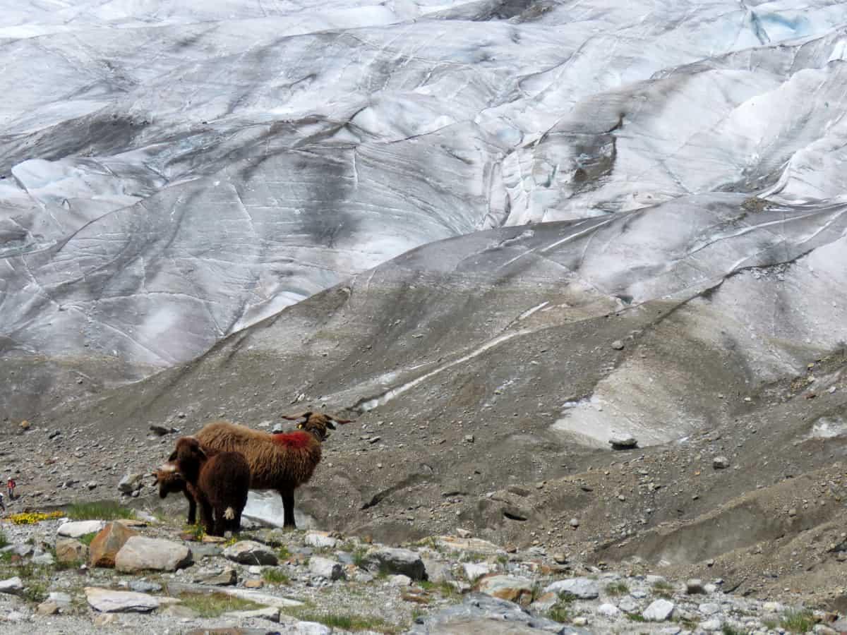 Am Rande des Gletschers grasen Bergschafe