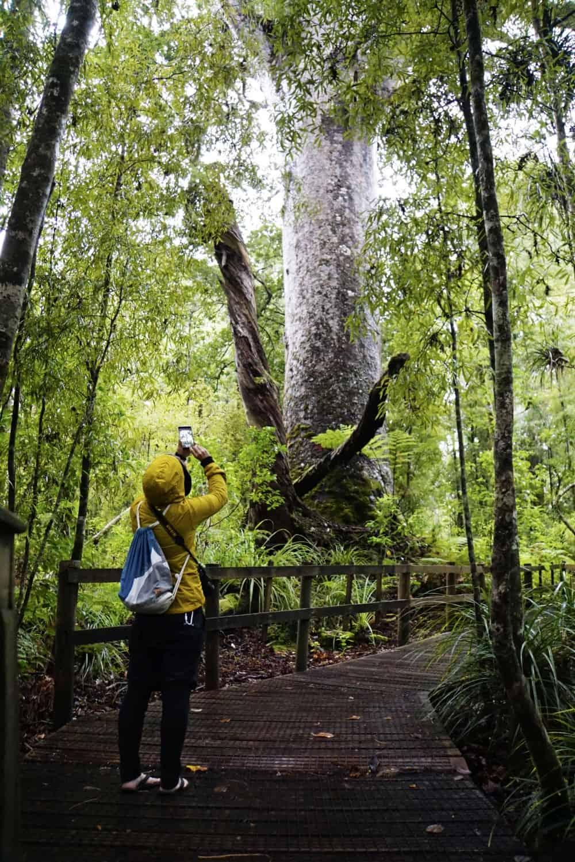 neuseeland-northland-kauri-trees