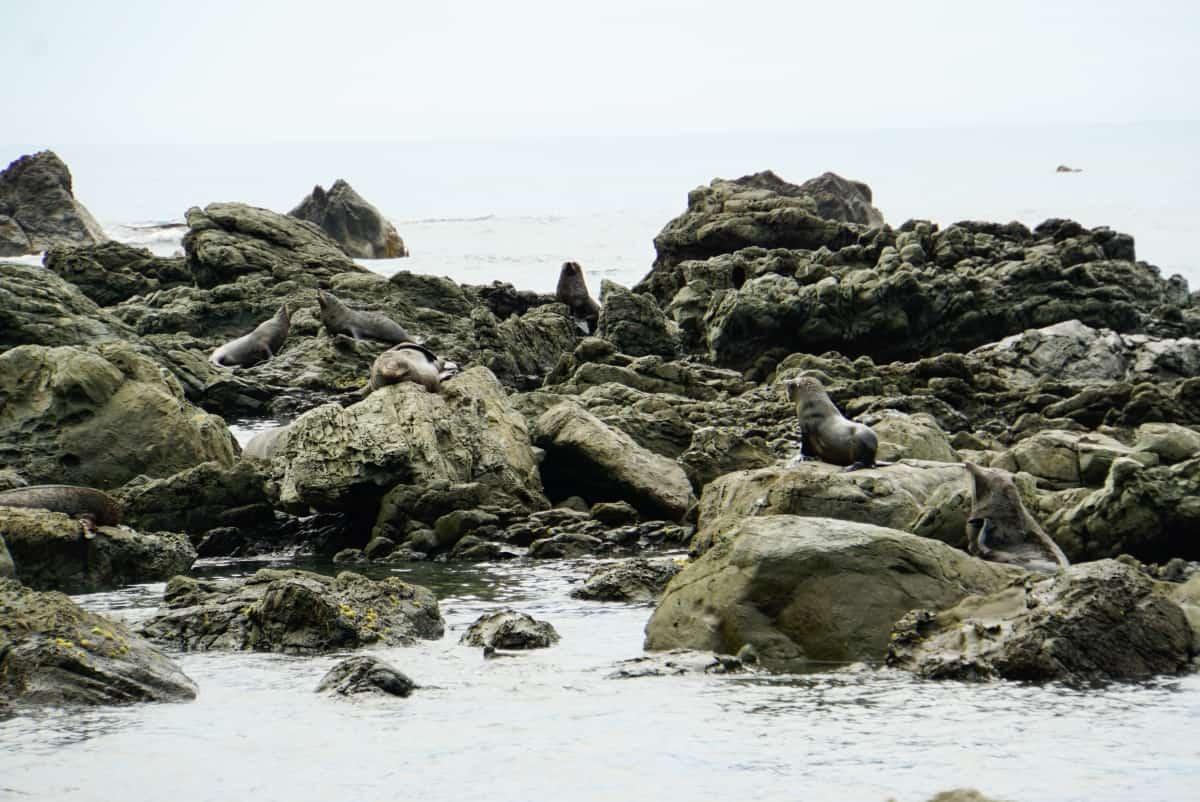 Ratespiel: Wie viele Seerobben siehst Du?
