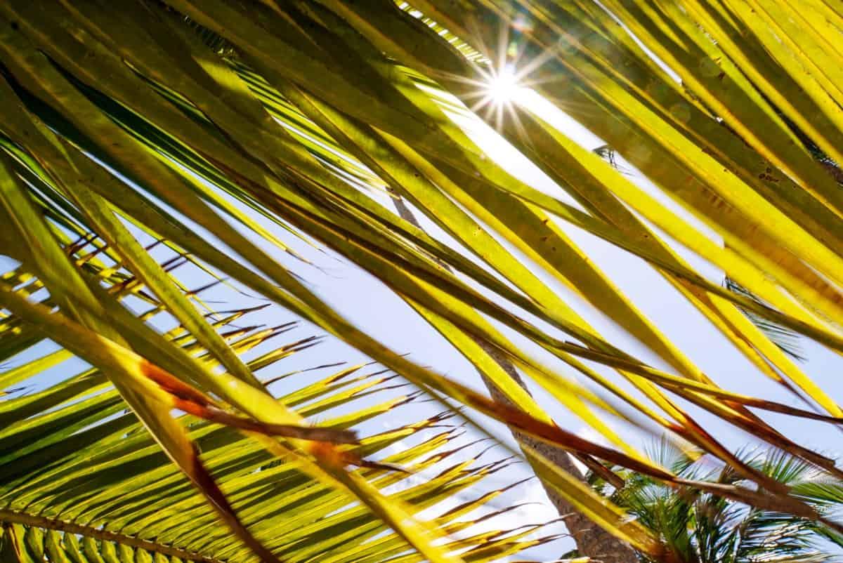 Sonnenschein Palme