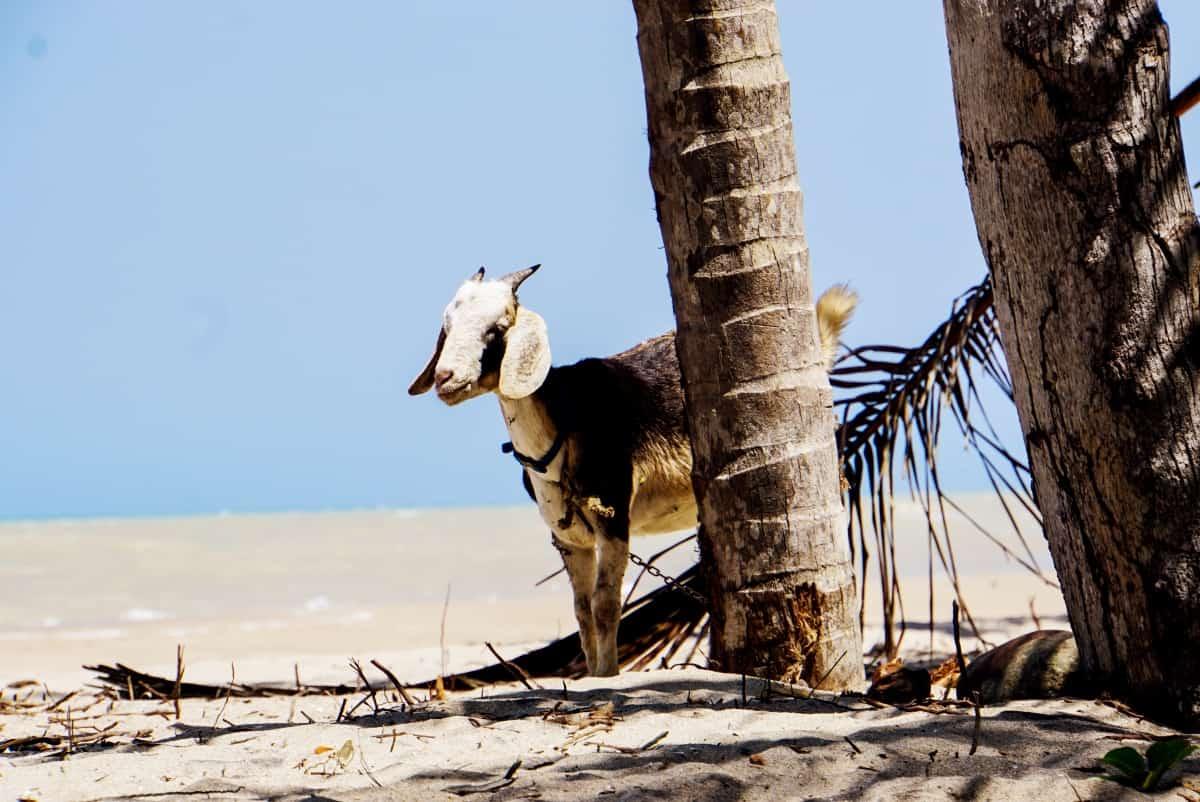 Ziege am Strand