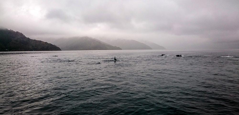 Delphine in den Marlborough Sounds